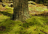 "Moss ""cushion"" at tree base<br /> Catoctin Mountain Nat'l Park, Frederick County, MD"