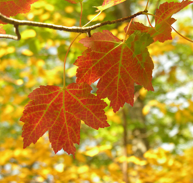 Red maple leaves in autumn<br /> Catoctin Mountain Nat'l Park, Frederick County, MD