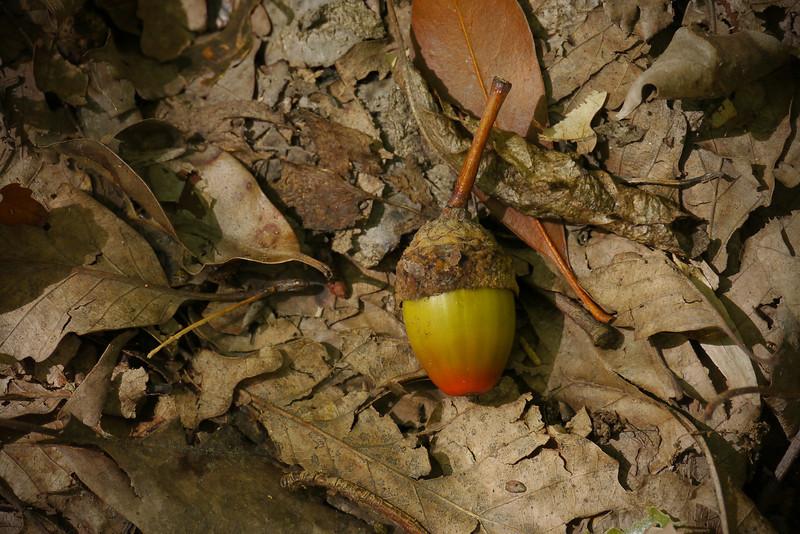 Colorful chestnut oak (<i>Quercus montana</i>) acorn Blockhouse Point Conservation Park, Potomac, MD