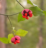 Hearts a-burstin' (<I>Euonymus americanus</I>) seed capsules Gilbert Run Park, La Plata, MD