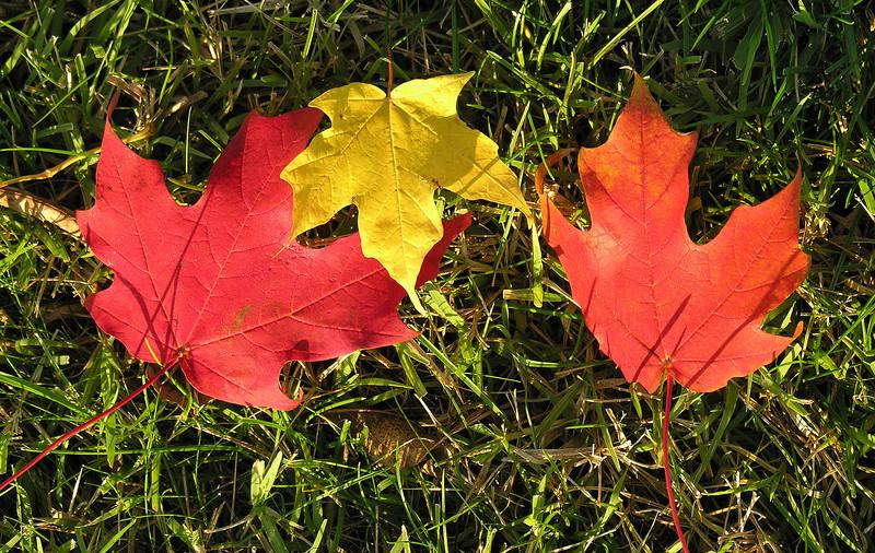 Maple leaves<br /> Chambersburg, PA