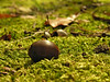 Chestnut oak acorn in the moss<br /> Catoctin Mountain Nat'l Park, Frederick County, MD