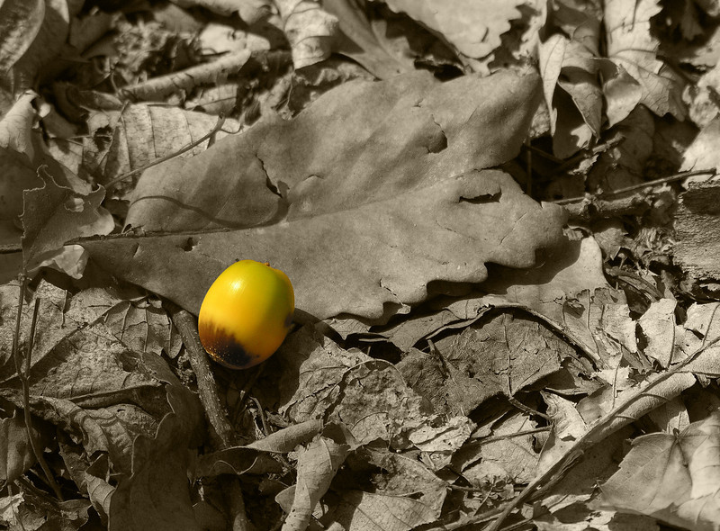 Chestnut oak acorn in the leaf litter<br /> Catoctin Mountain Nat'l Park, Frederick County, MD