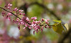 "Redbud (<i>Cercis canadensis</i>) in spring <span class=""nonNative"">[native in garden planting]</span> Woodend Sanctuary, Chevy Chase, MD"