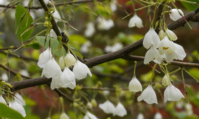 "Carolina silverbell (<i>Halesia tetraptera</i>) in spring <span class=""nonNative"">[native in garden planting]</span> Woodend Sanctuary, Chevy Chase, MD"