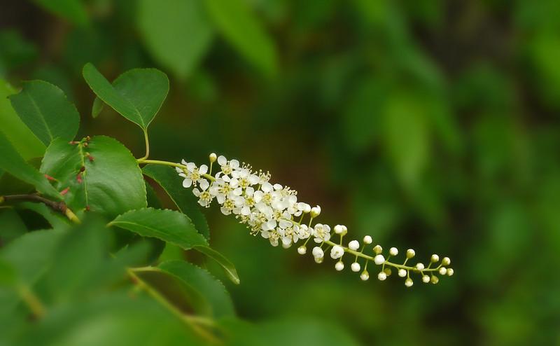Black cherry flowers (<I>Prunus serotina</I>) Wheaton Regional Park, Wheaton, MD