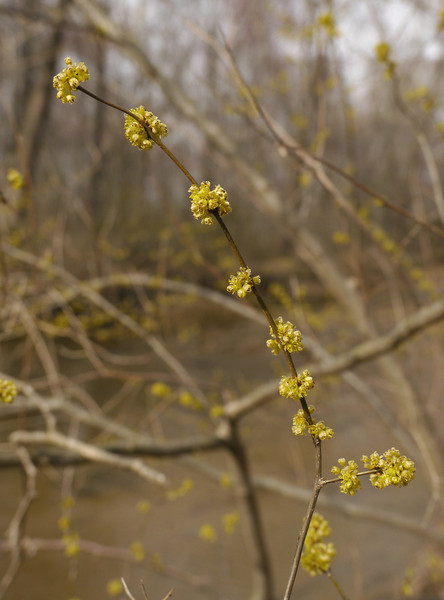 Spicebush in flower (<I>Lindera benzoin</I>) along Aquia Creek Government Island, Stafford, VA