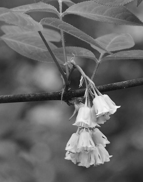 American bladdernut (<I>Staphylea trifolia</I>) flowers C&O Canal Nat'l Historical Park, Western Montgomery County, MD