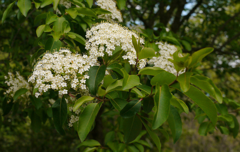 "Black haw (<i>Viburnum prunifolium</i>) in spring <span class=""nonNative"">[native in garden planting]</span> Woodend Sanctuary, Chevy Chase, MD"