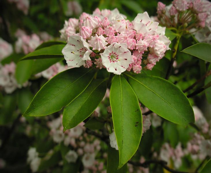 Mountain laurel (<I>Kalmia latifolia</I>) Sugarloaf Mountain, Frederick County, MD