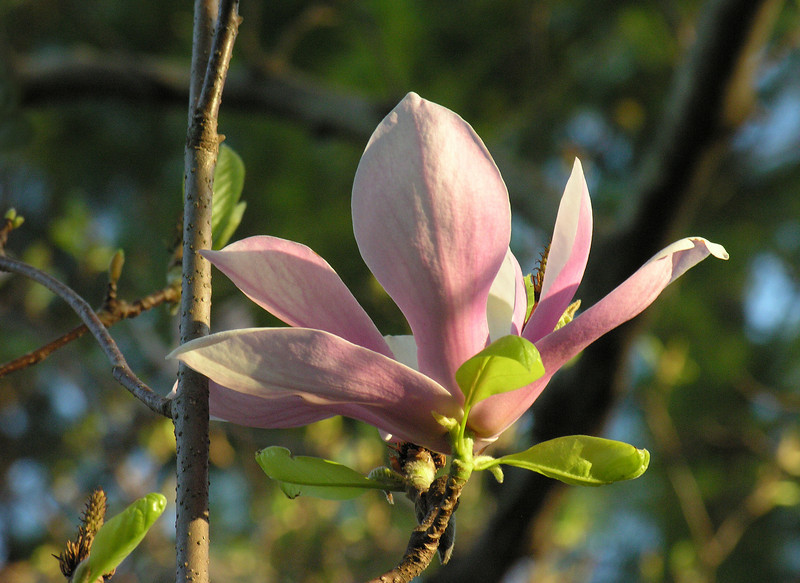 """Saucer magnolia flower (<i>Magnolia soulangiana</i>) in spring <span class=""""nonNative"""">[non-native, garden planting]</span> Woodend Sanctuary, Chevy Chase, MD"""