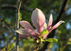 "Saucer magnolia flower (<i>Magnolia soulangiana</i>) in spring <span class=""nonNative"">[non-native, garden planting]</span> Woodend Sanctuary, Chevy Chase, MD"