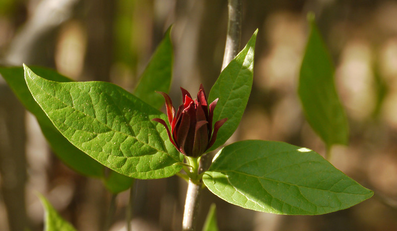 "Carolina allspice (<i>Calycanthus floridus</i>) in spring <span class=""nonNative"">[arguably native, in garden planting]</span> Woodend Sanctuary, Chevy Chase, MD"