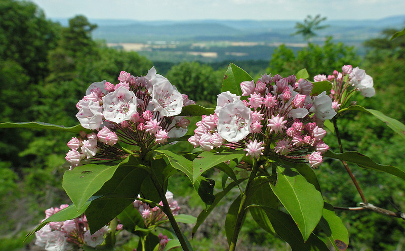 Mountain laurel (<I>Kalmia latifolia</I>) with Catoctin Mountain in the distance Sugarloaf Mountain, Frederick County, MD