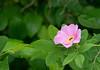 Swamp rose (<I>Rosa palustris</I>) with pollinator Jug Bay Natural Area, Patuxent River Park, Upper Marlboro, MD