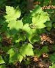 "Mapleleaf viburnum <I>(Viburnum acerifolium)</I> in the ""Woodland Walk"" natives garden Brookside Gardens, Wheaton, MD"
