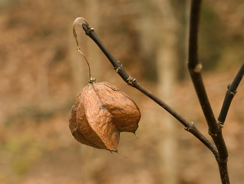 Dried bladdernut (<i>Staphylea trifolia</i>) fruit capsule Glen Echo Park, Glen Echo, MD