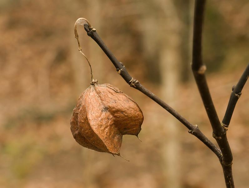 Dried bladdernut (<i>Staphylea trifolia</i>) fruit capsule Glen Echo Park, Glen Echo, MD