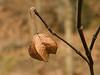 Dried bladdernut fruit capsule<br /> Glen Echo Park, Glen Echo, MD