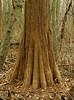 Bald cypress tree (<I>Taxodium distichum</I>) Battle Creek Cypress Swamp, near Prince Frederick, MD