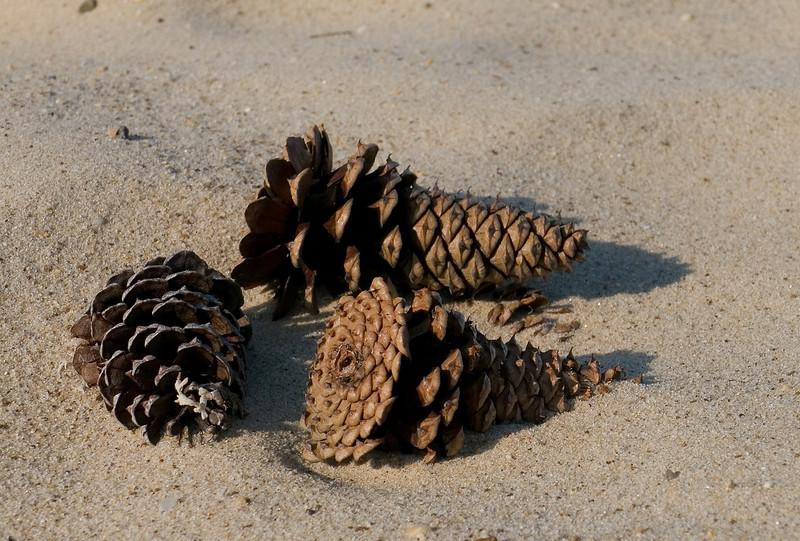 Pinecones blown into the sand<br /> Elm's Beach, Lexington Park, MD