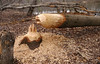 Tree felled by beaver the night before<br /> Patuxent Ponds, Anne Arundel County, MD