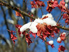 """Japanese maple leaves in snow <span class=""""nonNative"""">[non-native, garden planting]</span> Woodend Sanctuary, Chevy Chase, MD"""