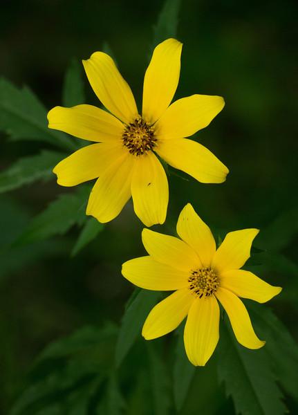 Tickseed sunflower (<i>Bidens trichosperma</i>) on Potomac floodplain (unlikely location) Dickerson Conservation Park, Dickerson, MD