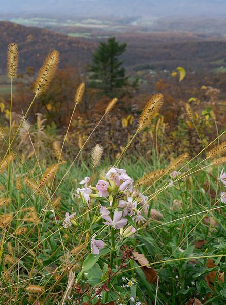 "Soapwort (<i>Saponaria officinalis</i>) along Skyline Drive in autumn <span class=""nonNative"">[non-native]</span> Shenandoah National Park, VA"