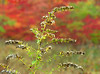 Goldenrod in autumn meadow<br /> Woodend Sanctuary, Chevy Chase, MD