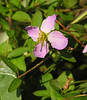 Maryland meadow beauty (<i>Rhexia mariana</i>) Merkle Wildlife Sanctuary, Upper Marlboro, MD