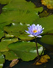 "Egyptian blue water lily (<i>Nymphaea caerulea</i>)? <span class=""nonNative"">[Non-native, garden planting]</span> Kenilworth Aquatic Gardens, Washington, DC"