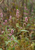 Pink knotweed (<i>Persicaria pensylvanicum</i>)? McKee-Beshers Wildlife Mgt Area, Poolesville, MD