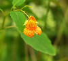 Spotted jewelweed (<I>Impatiens capensis</I>) Mill Grove, Audubon, PA