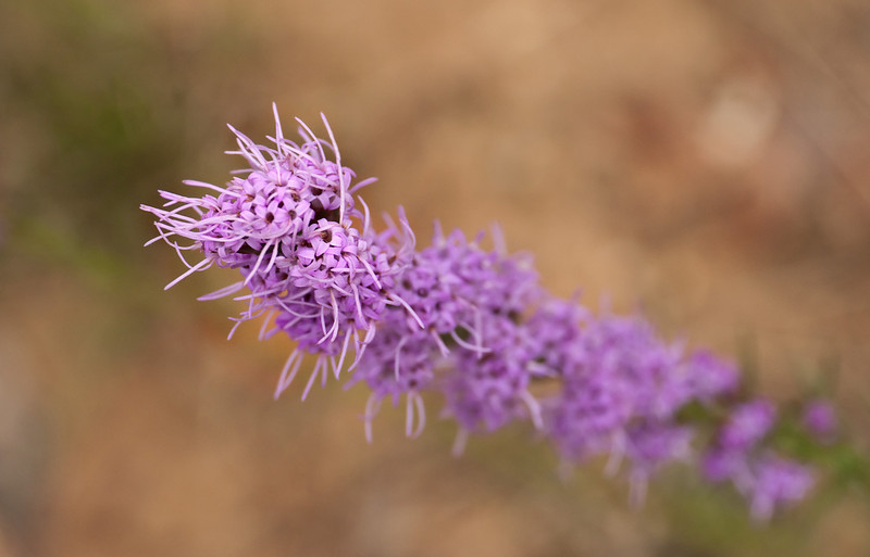 Grass-leaved blazing star (<i>Liatris graminifolia</i>, now <i>L. pilosa</i>) Nanjemoy Creek Preserve, Charles County, MD
