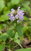 Heal-all (<I>Prunella vulgaris</I>) Chapel Point State Park, Port Tobacco, MD