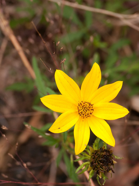 Tickseed sunflower (<I>Bidens trichosperma</I>) Nanjemoy Creek Preserve, Charles County, MD