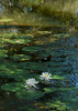 American water lilies (<i>Nymphaea odorata</i>) Kenilworth Aquatic Gardens, Washington, DC