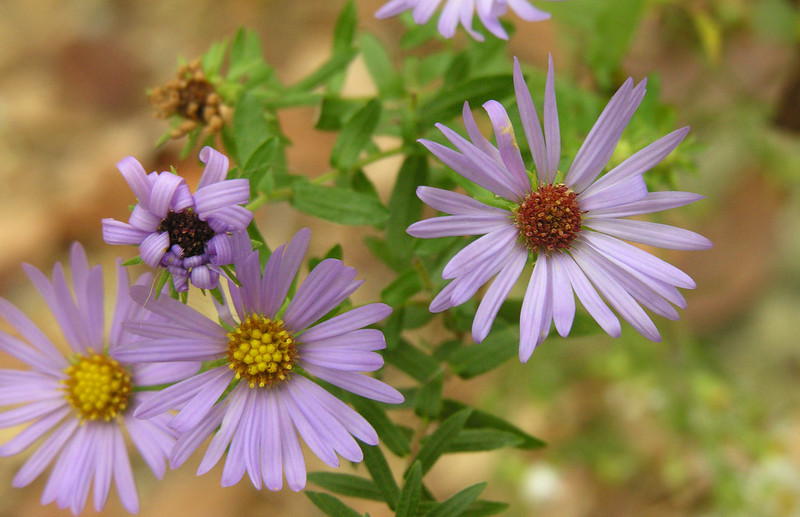 Shale aster, <i>aka</i> Aromatic aster, at Great Falls (<i>Symphyotrichum oblongifolium</i>) C&amp;O Nat'l Historical Park, Potomac, MD