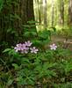 Wild geranium (<I>Geranium maculatum</I>) Cabin John Regional Park, Montgomery County, MD