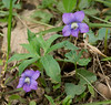"Birdfoot violet (<i>Viola pedata</i>)?  Possibly garden escape Coast violet (<i>Viola brittoniana</i>)? <span class=""nonNative""> (white throat but wrong habitat)</span> Wheaton Regional Park, Wheaton, MD"