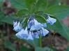 Virginia bluebells (<I>Mertensia virginica</I>) Riverbend Park, Great Falls, VA