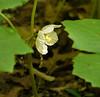 Mayapple flower (<I>Podophyllum peltatum</I>) Wheaton Regional Park, Montgomery County, MD