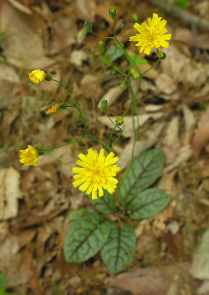 Rattlesnake weed (<I>Hieracium venosum</I>) Sugarloaf Mountain, Frederick County, MD
