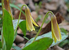 Trout lily (<i>Erythronium americanum</i>) C&amp;O Canal Nat'l Historical Park - Carderock Recreation Area, Western Montgomery County, MD