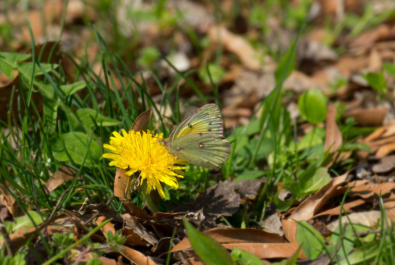 "Orange sulphur butterfly (<i>Colias eurytheme</i>) on common dandelion (<i>Taraxacum officinale</i>) <span class=""nonNative"">[non-native wildflower]</span> C&O Canal Nat'l Historical Park - Great Falls, Western Montgomery County, MD"