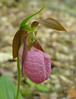 Pink lady's slipper (<I>Cypripedium acaule</I>) Sugarloaf Mountain, Frederick County, MD