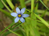 Blue-eyed grass (<I>Sisyrinchium montanum</I>) Sugarloaf Mountain, Frederick County, MD