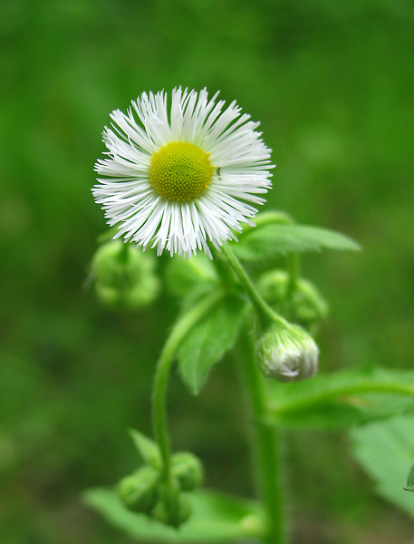 Common fleabane (<I>Erigeron philadelphicus</I>) Rock Creek Park, Chevy Chase, MD