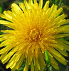 "Dandelion (<i>Taraxacum officinale</i>) <span class=""nonNative"">[non-native]</span> C&amp;O Canal Nat'l Historical Park - Carderock Recreation Area, Western Montgomery County, MD"